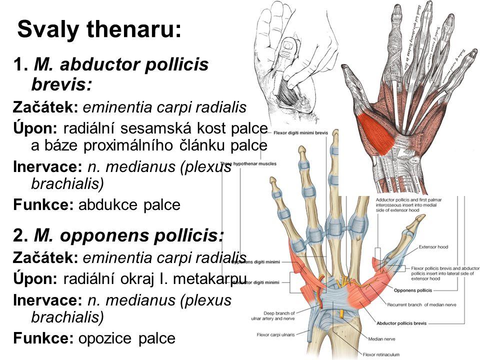 Svaly thenaru: 1. M. abductor pollicis brevis: Začátek: eminentia carpi radialis Úpon: radiální sesamská kost palce a báze proximálního článku palce I