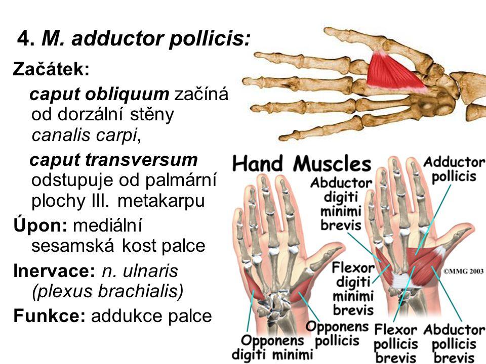 4. M. adductor pollicis: Začátek: caput obliquum začíná od dorzální stěny canalis carpi, caput transversum odstupuje od palmární plochy III. metakarpu