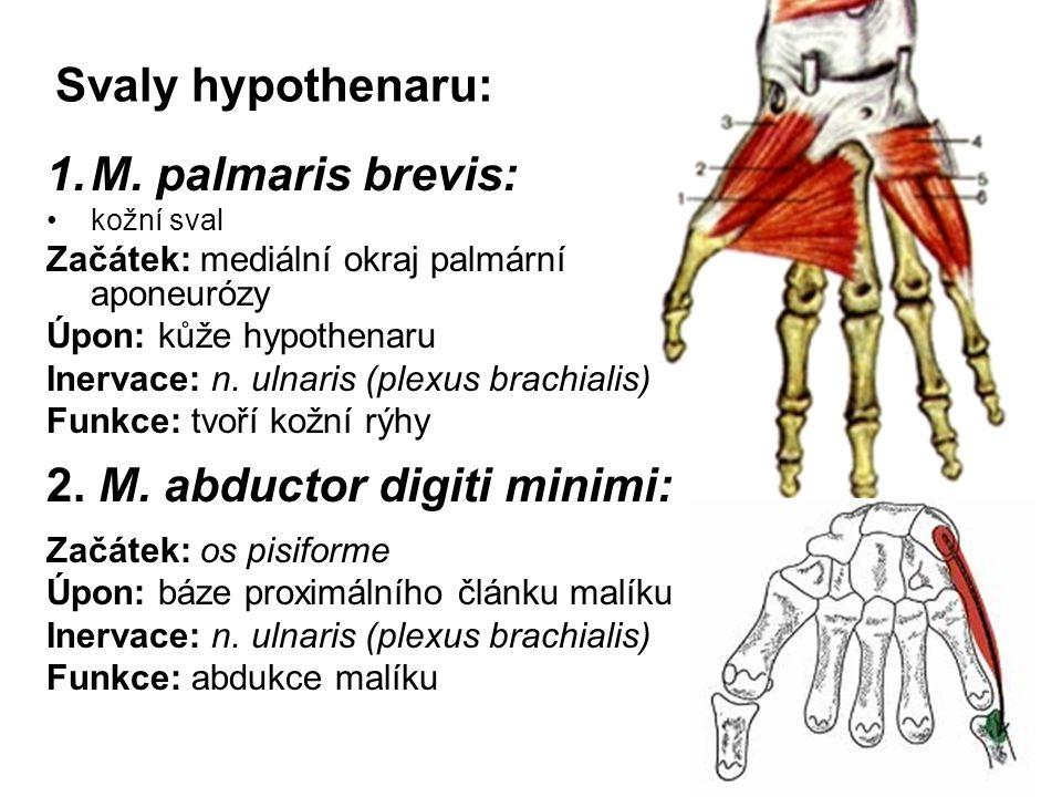 Svaly hypothenaru: 1.M. palmaris brevis: kožní sval Začátek: mediální okraj palmární aponeurózy Úpon: kůže hypothenaru Inervace: n. ulnaris (plexus br