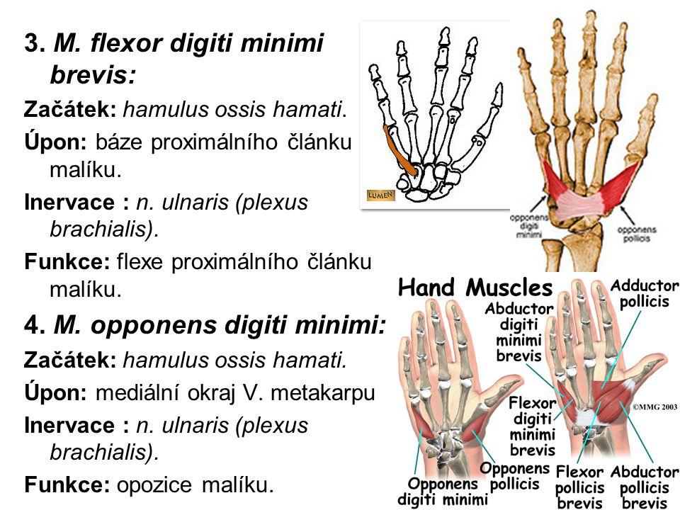 3. M. flexor digiti minimi brevis: Začátek: hamulus ossis hamati. Úpon: báze proximálního článku malíku. Inervace : n. ulnaris (plexus brachialis). Fu