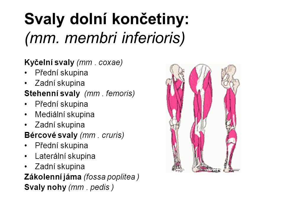 Svaly dolní končetiny: (mm. membri inferioris) Kyčelní svaly (mm. coxae) Přední skupina Zadní skupina Stehenní svaly (mm. femoris) Přední skupina Medi