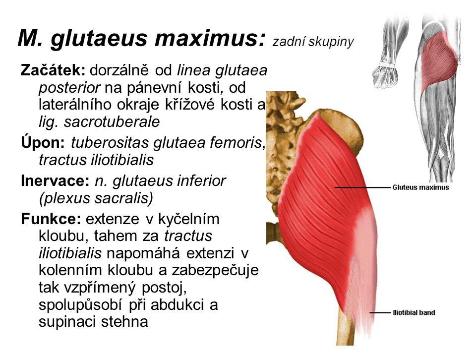 M. glutaeus maximus: zadní skupiny Začátek: dorzálně od linea glutaea posterior na pánevní kosti, od laterálního okraje křížové kosti a lig. sacrotube