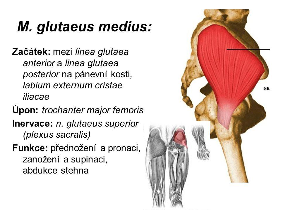 M. glutaeus medius: Začátek: mezi linea glutaea anterior a linea glutaea posterior na pánevní kosti, labium externum cristae iliacae Úpon: trochanter
