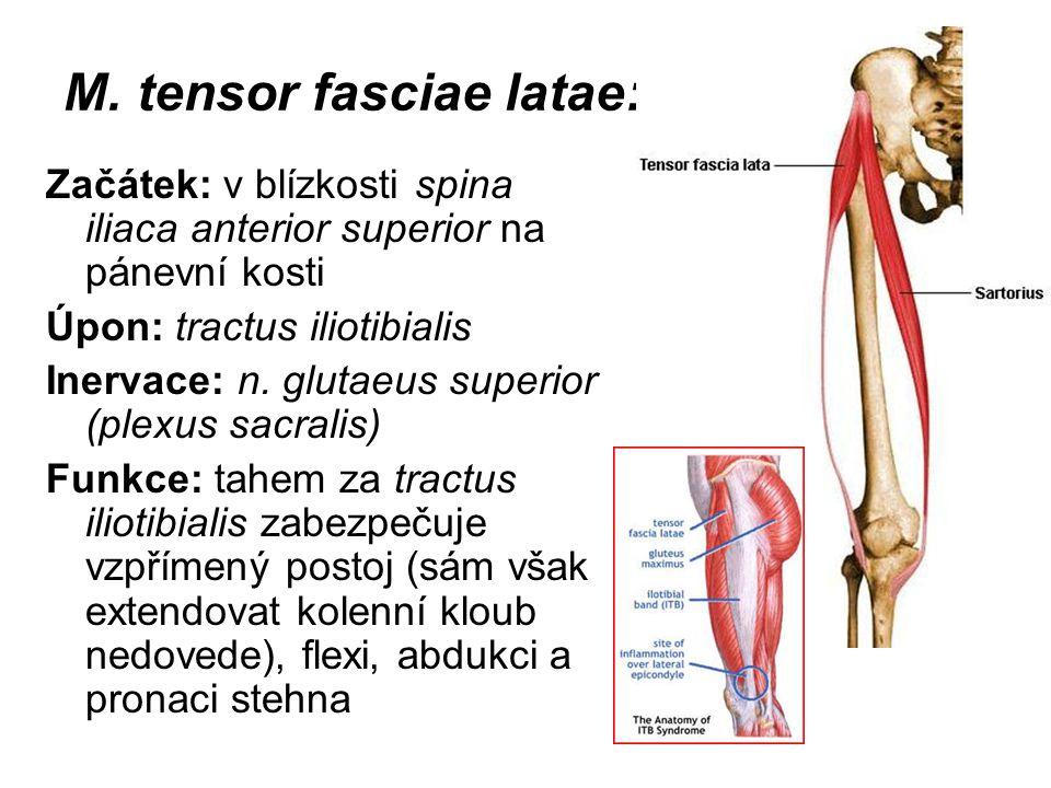 M. tensor fasciae latae: Začátek: v blízkosti spina iliaca anterior superior na pánevní kosti Úpon: tractus iliotibialis Inervace: n. glutaeus superio