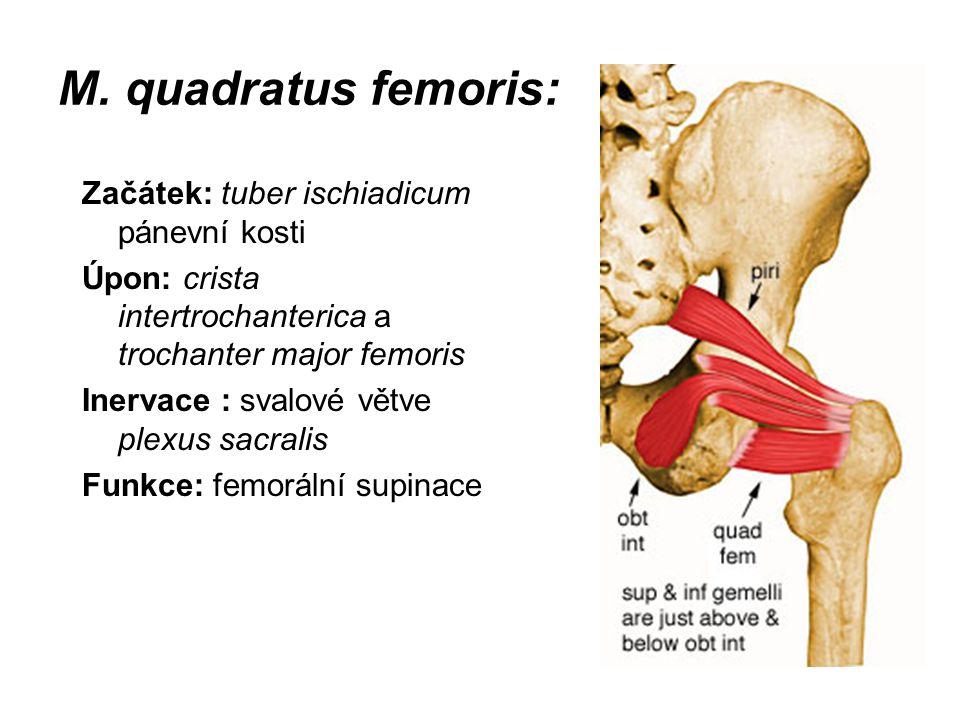M. quadratus femoris: Začátek: tuber ischiadicum pánevní kosti Úpon: crista intertrochanterica a trochanter major femoris Inervace : svalové větve ple