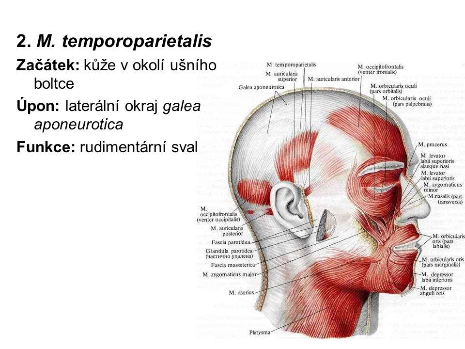 2. M. temporoparietalis Začátek: kůže v okolí ušního boltce Úpon: laterální okraj galea aponeurotica Funkce: rudimentární sval