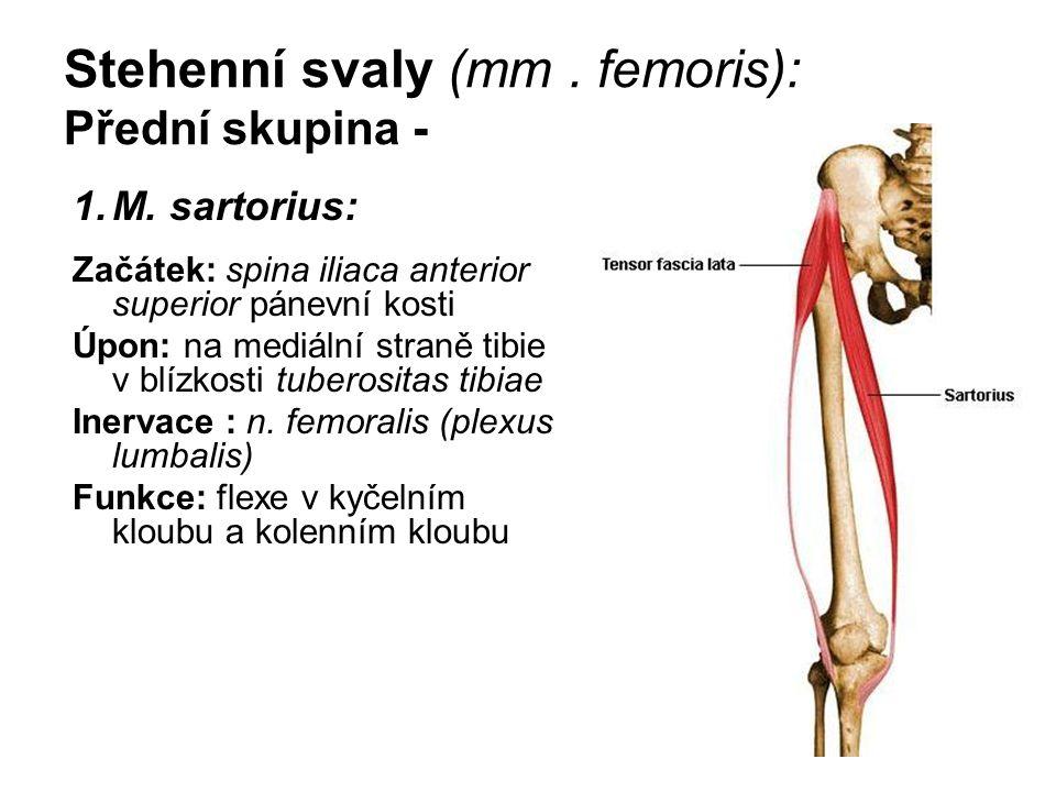 Stehenní svaly (mm. femoris): Přední skupina - 1.M. sartorius: Začátek: spina iliaca anterior superior pánevní kosti Úpon: na mediální straně tibie v