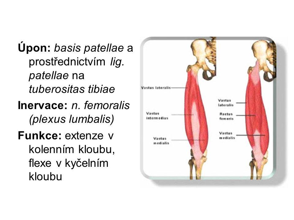 Úpon: basis patellae a prostřednictvím lig. patellae na tuberositas tibiae Inervace: n. femoralis (plexus lumbalis) Funkce: extenze v kolenním kloubu,