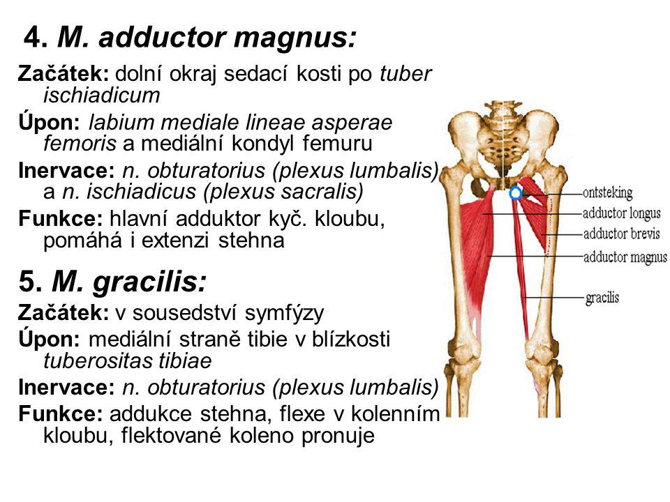 4. M. adductor magnus: Začátek: dolní okraj sedací kosti po tuber ischiadicum Úpon: labium mediale lineae asperae femoris a mediální kondyl femuru Ine