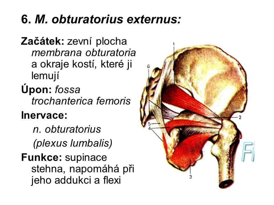 6. M. obturatorius externus: Začátek: zevní plocha membrana obturatoria a okraje kostí, které ji lemují Úpon: fossa trochanterica femoris Inervace: n.