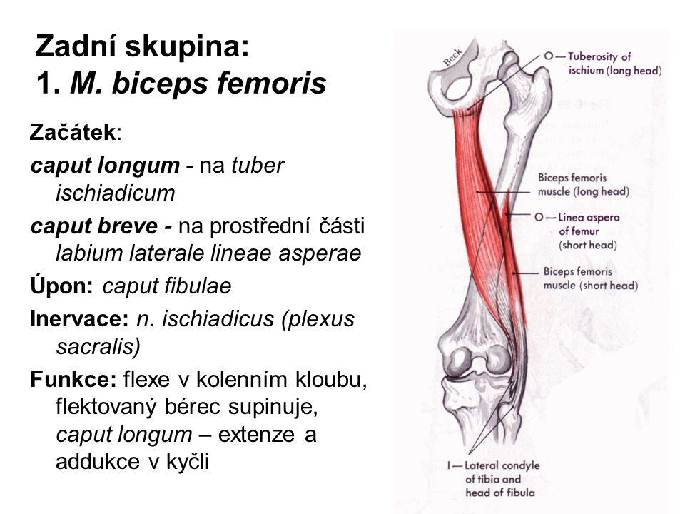 Zadní skupina: 1. M. biceps femoris Začátek: caput longum - na tuber ischiadicum caput breve - na prostřední části labium laterale lineae asperae Úpon