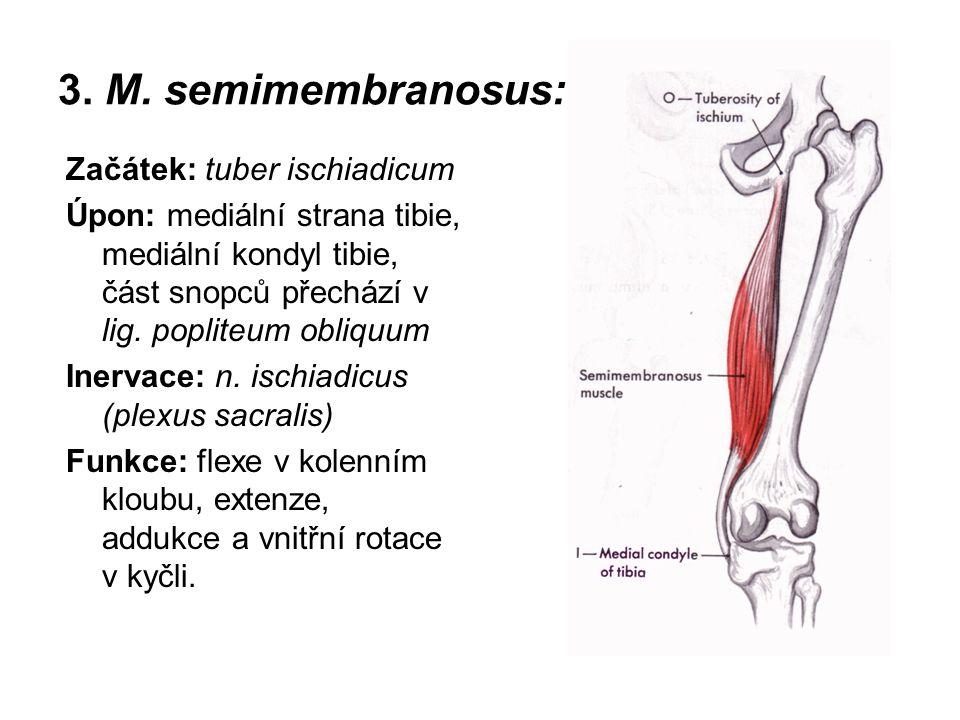 3. M. semimembranosus: Začátek: tuber ischiadicum Úpon: mediální strana tibie, mediální kondyl tibie, část snopců přechází v lig. popliteum obliquum I