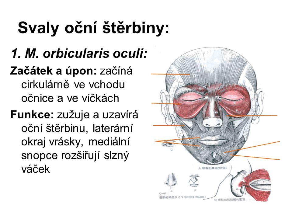 Svaly oční štěrbiny: 1. M. orbicularis oculi: Začátek a úpon: začíná cirkulárně ve vchodu očnice a ve víčkách Funkce: zužuje a uzavírá oční štěrbinu,