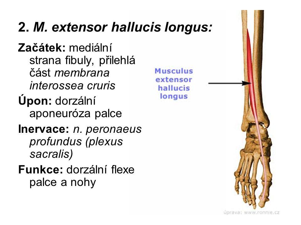 2. M. extensor hallucis longus: Začátek: mediální strana fibuly, přilehlá část membrana interossea cruris Úpon: dorzální aponeuróza palce Inervace: n.