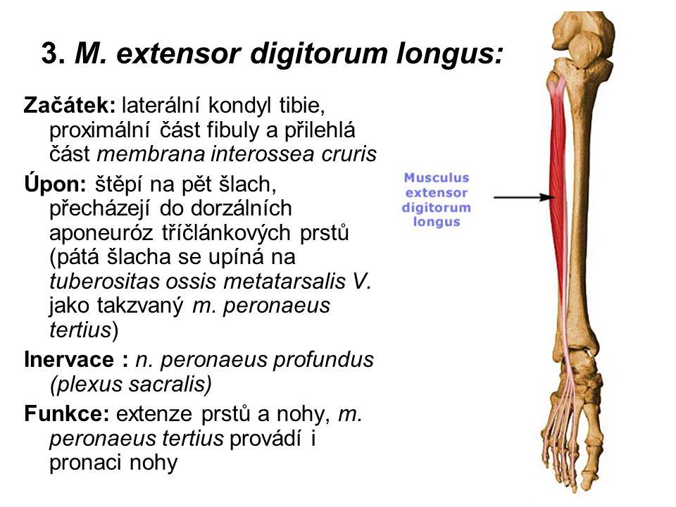 3. M. extensor digitorum longus: Začátek: laterální kondyl tibie, proximální část fibuly a přilehlá část membrana interossea cruris Úpon: štěpí na pět