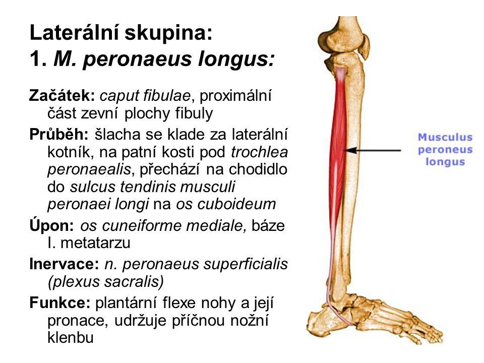 Laterální skupina: 1. M. peronaeus longus: Začátek: caput fibulae, proximální část zevní plochy fibuly Průběh: šlacha se klade za laterální kotník, na