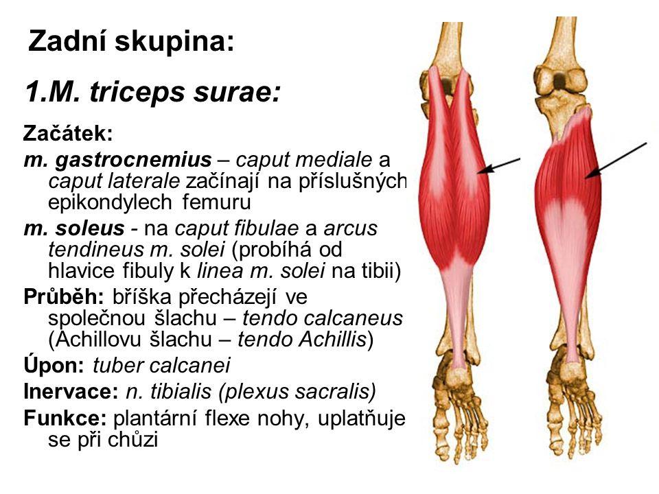 Zadní skupina: 1.M. triceps surae: Začátek: m. gastrocnemius – caput mediale a caput laterale začínají na příslušných epikondylech femuru m. soleus -