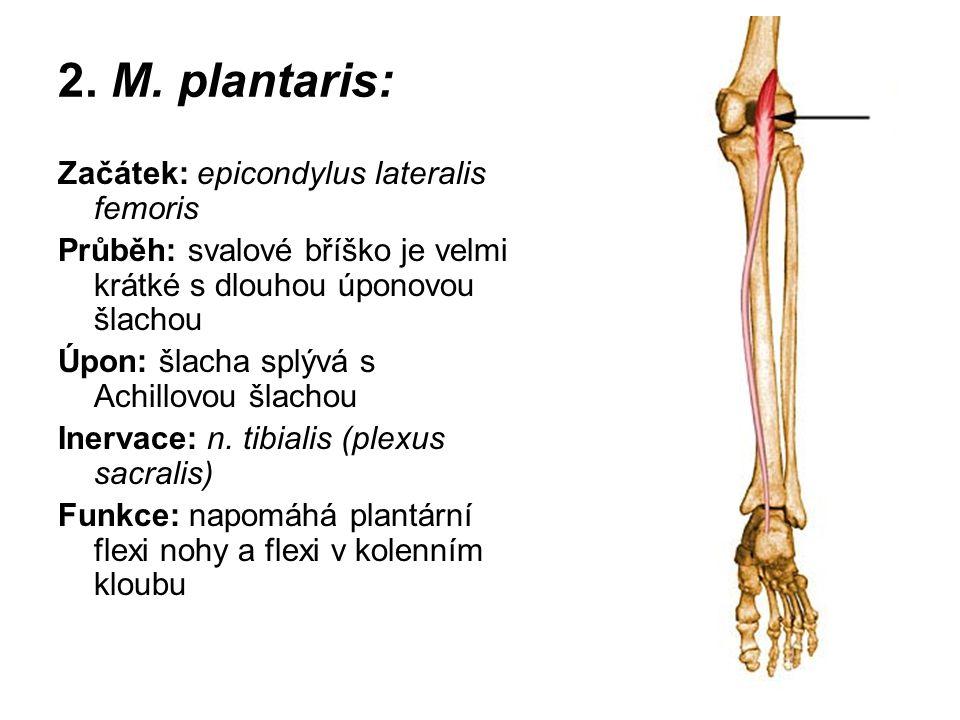 2. M. plantaris: Začátek: epicondylus lateralis femoris Průběh: svalové bříško je velmi krátké s dlouhou úponovou šlachou Úpon: šlacha splývá s Achill