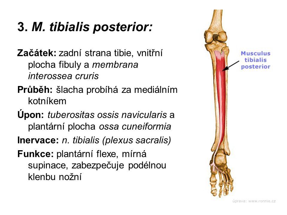 3. M. tibialis posterior: Začátek: zadní strana tibie, vnitřní plocha fibuly a membrana interossea cruris Průběh: šlacha probíhá za mediálním kotníkem