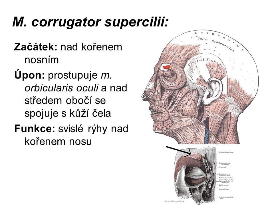 M. corrugator supercilii: Začátek: nad kořenem nosním Úpon: prostupuje m. orbicularis oculi a nad středem obočí se spojuje s kůží čela Funkce: svislé