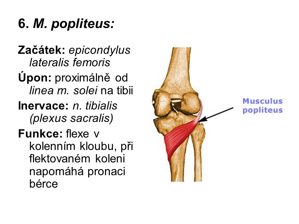 6. M. popliteus: Začátek: epicondylus lateralis femoris Úpon: proximálně od linea m. solei na tibii Inervace: n. tibialis (plexus sacralis) Funkce: fl