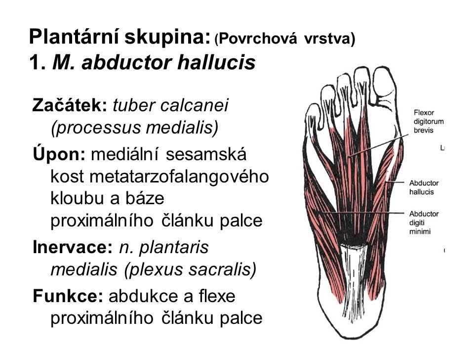 Plantární skupina: ( Povrchová vrstva) 1. M. abductor hallucis Začátek: tuber calcanei (processus medialis) Úpon: mediální sesamská kost metatarzofala