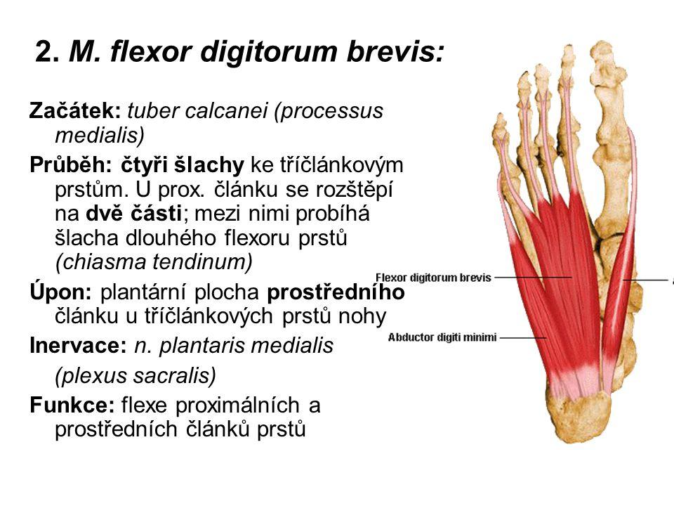 2. M. flexor digitorum brevis: Začátek: tuber calcanei (processus medialis) Průběh: čtyři šlachy ke tříčlánkovým prstům. U prox. článku se rozštěpí na