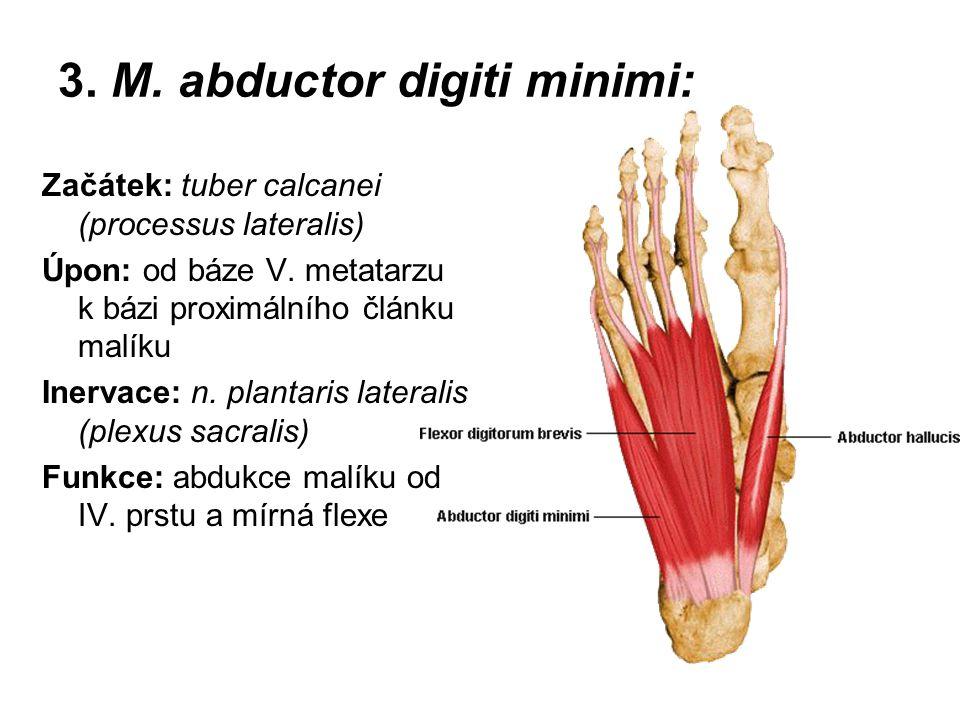 3. M. abductor digiti minimi: Začátek: tuber calcanei (processus lateralis) Úpon: od báze V. metatarzu k bázi proximálního článku malíku Inervace: n.