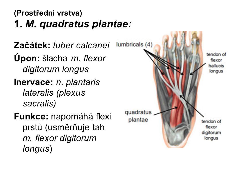 (Prostřední vrstva) 1. M. quadratus plantae: Začátek: tuber calcanei Úpon: šlacha m. flexor digitorum longus Inervace: n. plantaris lateralis (plexus