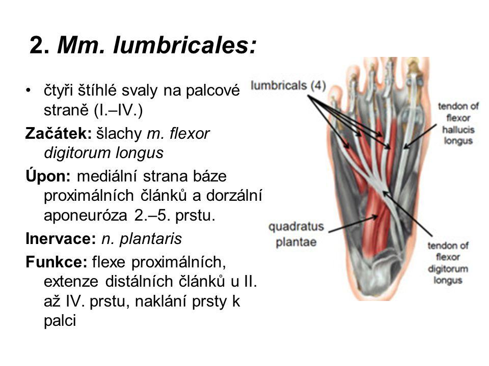 2. Mm. lumbricales: čtyři štíhlé svaly na palcové straně (I.–IV.) Začátek: šlachy m. flexor digitorum longus Úpon: mediální strana báze proximálních č