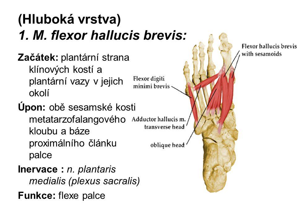 (Hluboká vrstva) 1. M. flexor hallucis brevis: Začátek: plantární strana klínových kostí a plantární vazy v jejich okolí Úpon: obě sesamské kosti meta