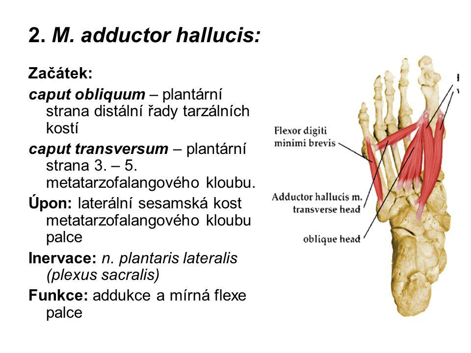 2. M. adductor hallucis: Začátek: caput obliquum – plantární strana distální řady tarzálních kostí caput transversum – plantární strana 3. – 5. metata