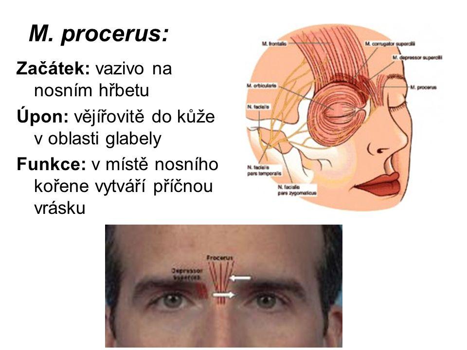 M. procerus: Začátek: vazivo na nosním hřbetu Úpon: vějířovitě do kůže v oblasti glabely Funkce: v místě nosního kořene vytváří příčnou vrásku