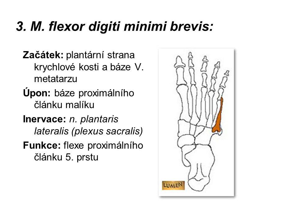 3. M. flexor digiti minimi brevis: Začátek: plantární strana krychlové kosti a báze V. metatarzu Úpon: báze proximálního článku malíku Inervace: n. pl