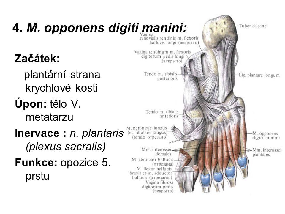 4. M. opponens digiti manini: Začátek: plantární strana krychlové kosti Úpon: tělo V. metatarzu Inervace : n. plantaris (plexus sacralis) Funkce: opoz