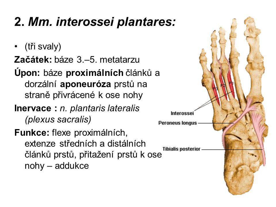 2. Mm. interossei plantares: (tři svaly) Začátek: báze 3.–5. metatarzu Úpon: báze proximálních článků a dorzální aponeuróza prstů na straně přivrácené