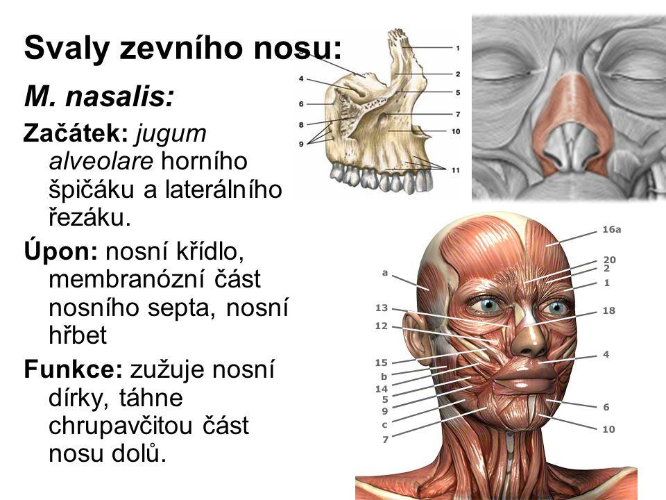 Svaly zevního nosu: M. nasalis: Začátek: jugum alveolare horního špičáku a laterálního řezáku. Úpon: nosní křídlo, membranózní část nosního septa, nos