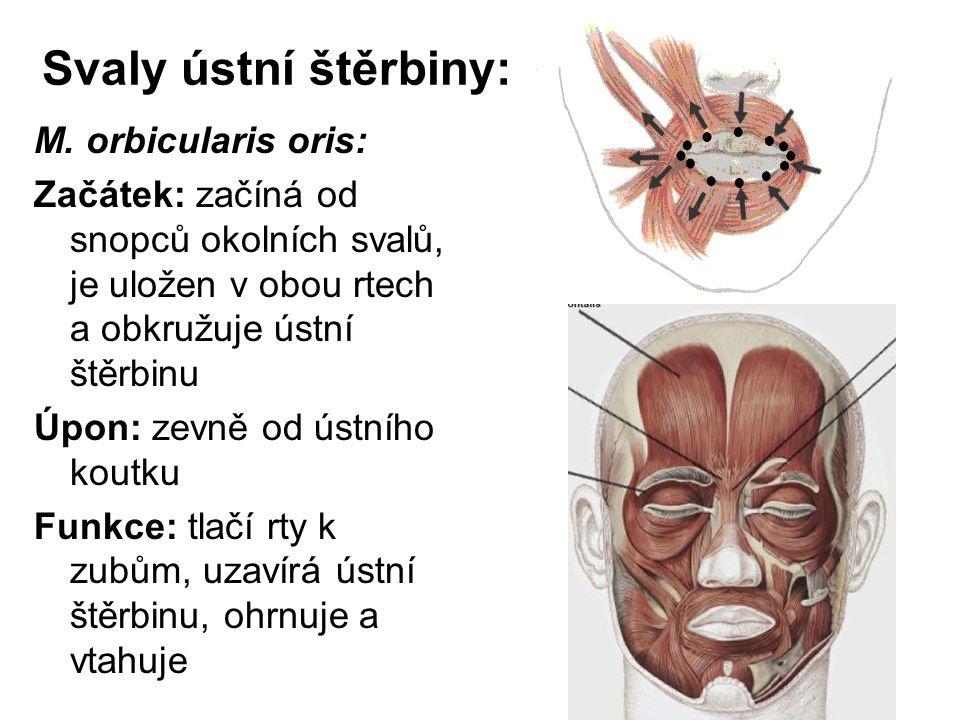 Svaly ústní štěrbiny: M. orbicularis oris: Začátek: začíná od snopců okolních svalů, je uložen v obou rtech a obkružuje ústní štěrbinu Úpon: zevně od