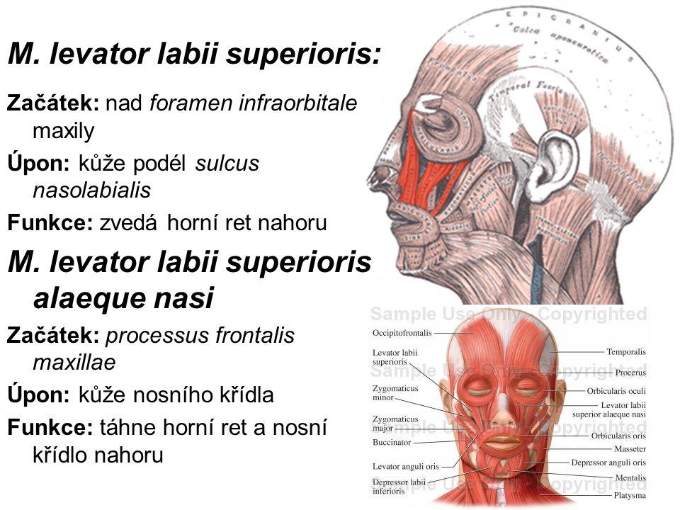 M. levator labii superioris: Začátek: nad foramen infraorbitale maxily Úpon: kůže podél sulcus nasolabialis Funkce: zvedá horní ret nahoru M. levator