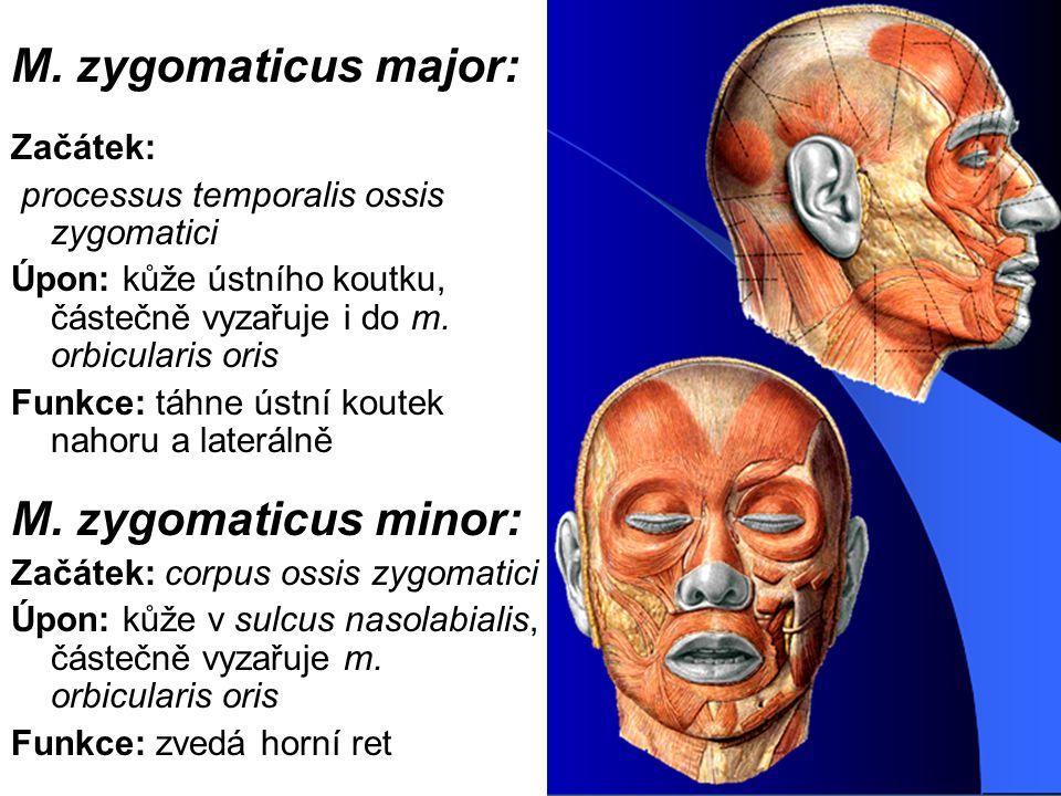 M. zygomaticus major: Začátek: processus temporalis ossis zygomatici Úpon: kůže ústního koutku, částečně vyzařuje i do m. orbicularis oris Funkce: táh