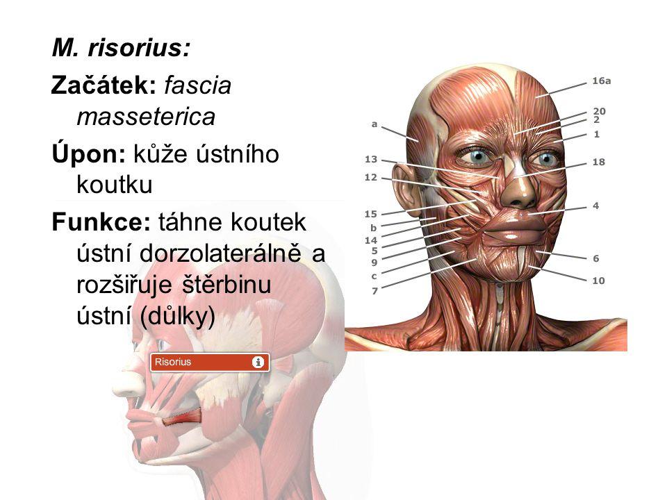 M. risorius: Začátek: fascia masseterica Úpon: kůže ústního koutku Funkce: táhne koutek ústní dorzolaterálně a rozšiřuje štěrbinu ústní (důlky)