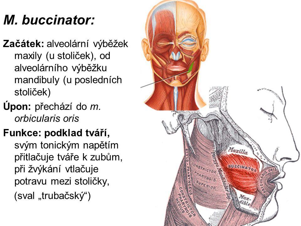 M. buccinator: Začátek: alveolární výběžek maxily (u stoliček), od alveolárního výběžku mandibuly (u posledních stoliček) Úpon: přechází do m. orbicul