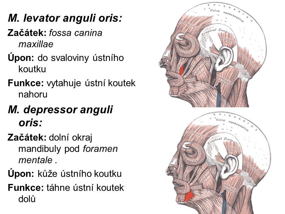 M. levator anguli oris: Začátek: fossa canina maxillae Úpon: do svaloviny ústního koutku Funkce: vytahuje ústní koutek nahoru M. depressor anguli oris