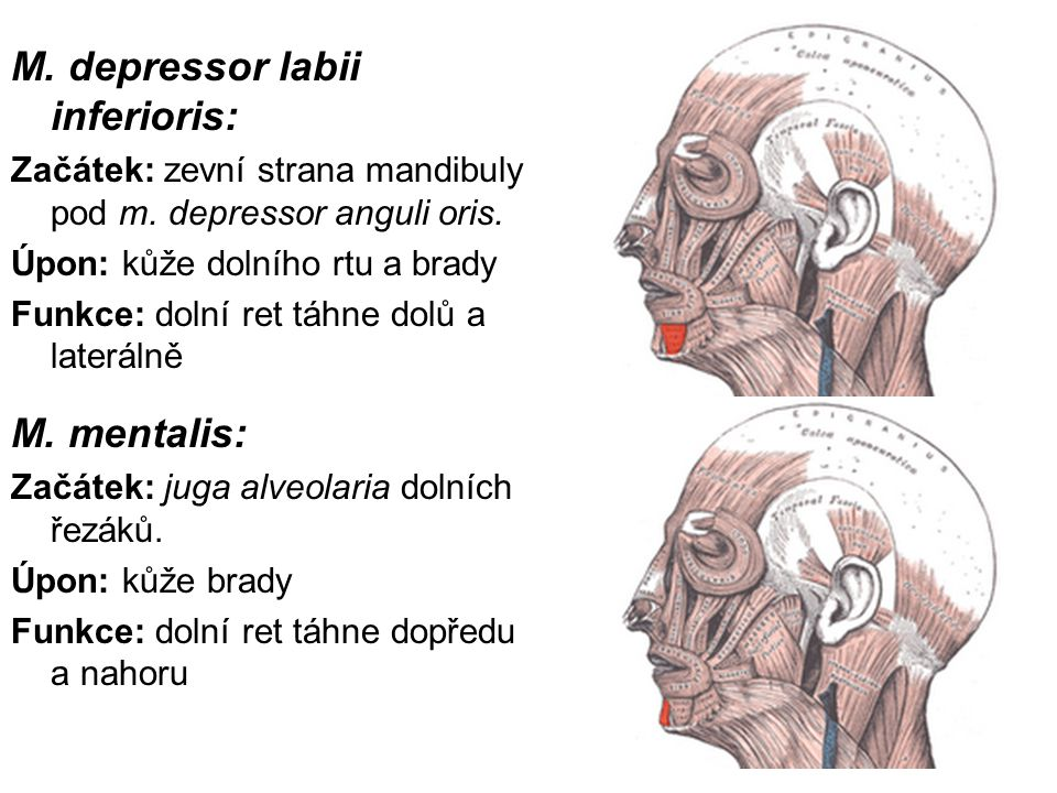 M. depressor labii inferioris: Začátek: zevní strana mandibuly pod m. depressor anguli oris. Úpon: kůže dolního rtu a brady Funkce: dolní ret táhne do