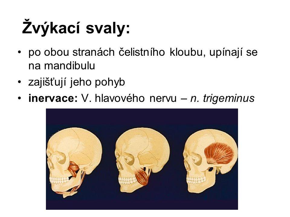 Žvýkací svaly: po obou stranách čelistního kloubu, upínají se na mandibulu zajišťují jeho pohyb inervace: V. hlavového nervu – n. trigeminus