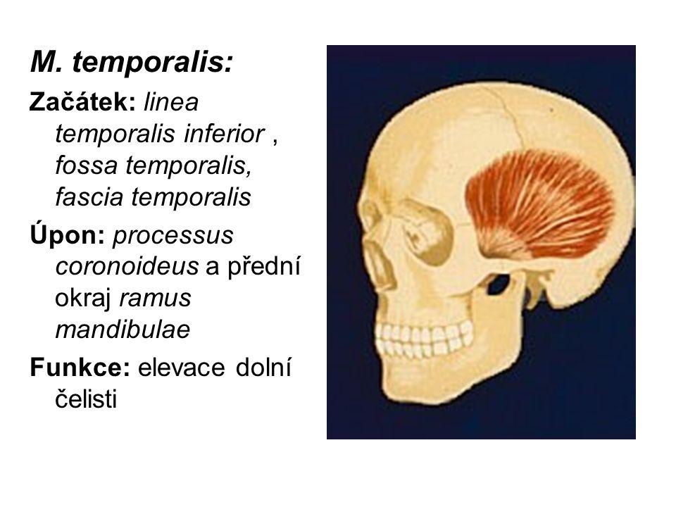 M. temporalis: Začátek: linea temporalis inferior, fossa temporalis, fascia temporalis Úpon: processus coronoideus a přední okraj ramus mandibulae Fun