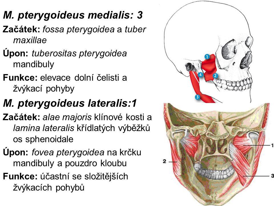 M. pterygoideus medialis: 3 Začátek: fossa pterygoidea a tuber maxillae Úpon: tuberositas pterygoidea mandibuly Funkce: elevace dolní čelisti a žvýkac