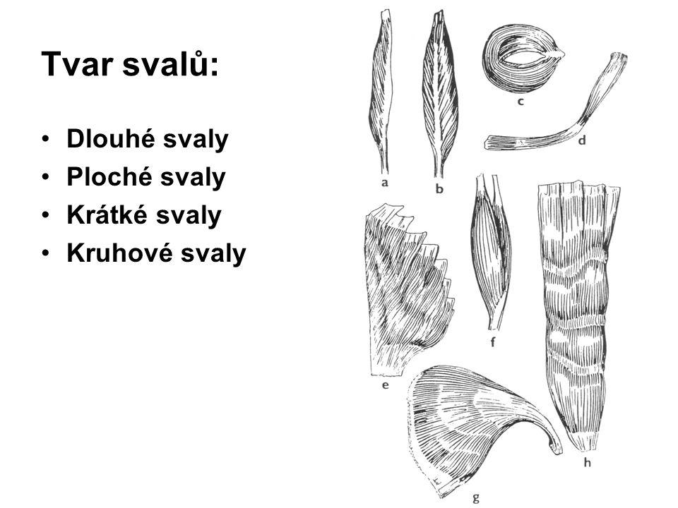 Tvar svalů: Dlouhé svaly Ploché svaly Krátké svaly Kruhové svaly