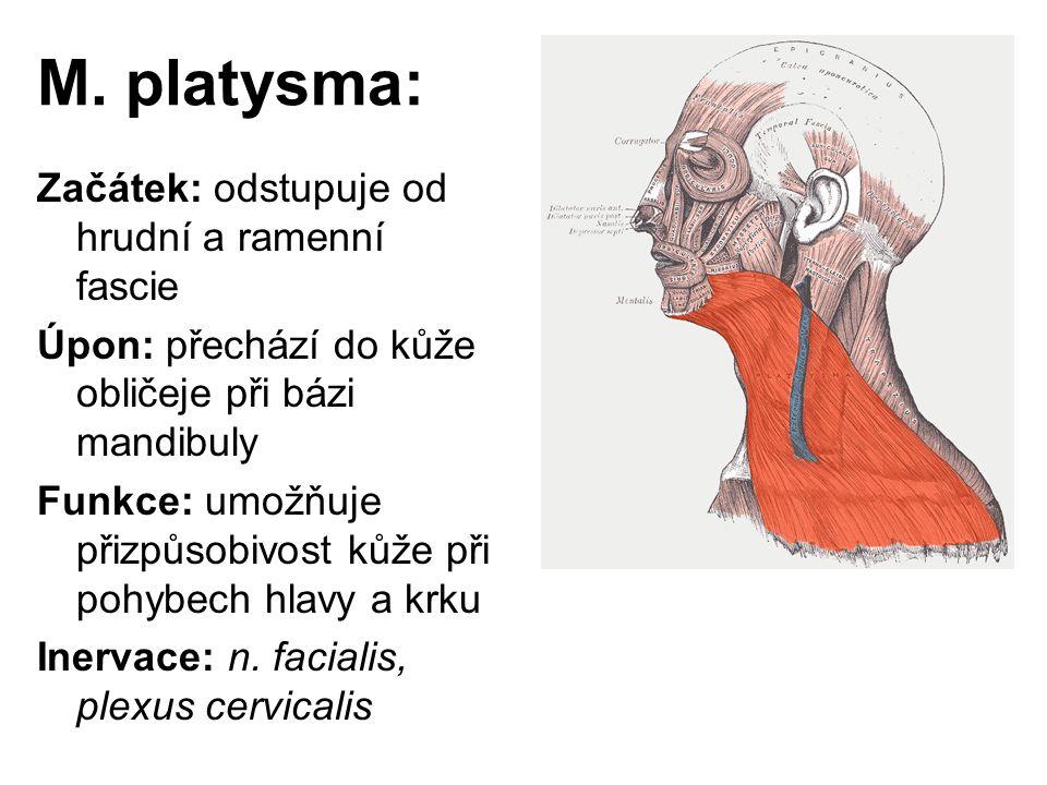 M. platysma: Začátek: odstupuje od hrudní a ramenní fascie Úpon: přechází do kůže obličeje při bázi mandibuly Funkce: umožňuje přizpůsobivost kůže při