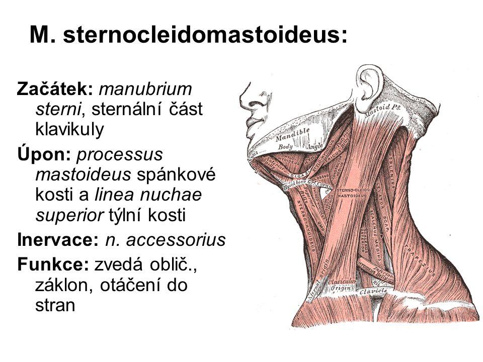 M. sternocleidomastoideus: Začátek: manubrium sterni, sternální část klavikuly Úpon: processus mastoideus spánkové kosti a linea nuchae superior týlní